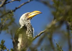Souther Hornbill