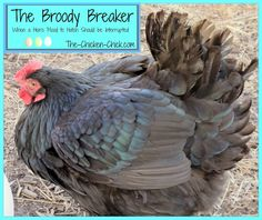 The Chicken Chick®: The Broody Breaker- When a Hen's Mood to Hatch Should be Interrupted