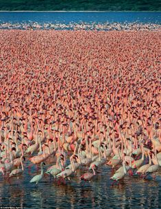 Birds of a feather flock together for spectacular annual meeting at the lake dubbed 'Flamingo City'