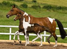 Solaris Sport Horses: Edwina 2000 Bay Tabiano NRPS Dutch Warmblood mare Dutch Warmblood, Warmblood Horses, Majestic Horse, Art Images, Sport, Board, Animals, Deporte, Animales
