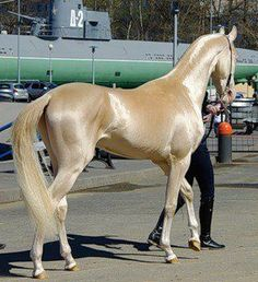 The Akhal-Teke is a horse breed from Turkmenistan. Only about are left worldwide. Known for their speed and famous for the natural metallic shimmer of their coats. THE COLOR IS AMAZING! 2 akhal-teke + me = lots more akhal-teke Most Beautiful Horses, Pretty Horses, Horse Love, Vida Animal, Especie Animal, Beautiful Creatures, Animals Beautiful, Cute Animals, Wild Animals