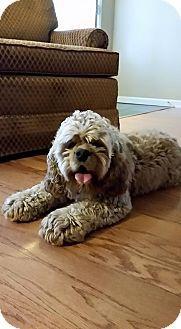 baton rouge, LA - Cocker Spaniel. Meet Max, a dog for adoption. http://www.adoptapet.com/pet/13087775-baton-rouge-louisiana-cocker-spaniel