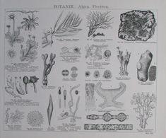 ALGEN FLECHTEN PILZE Botanik 2 Drucke Faksimile Holzschnitt 2 botanical Prints Ebay, Art, Seaweed, Braid, Mushrooms, Woodblock Print, Botany, Art Print, Printing