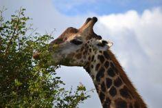 Giraf - Kruger national parc