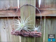 #Tillandsia, Cholla wood & barbed wire.