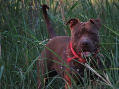 Pitbull American Pitbull Chocolate
