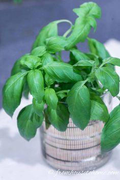 Great tips for the best ways to store fresh herbs! This basil will stay fresh in a glass of water for quite a while. Click through to find out how to store other fresh herbs longer, like parsley, cilantro, mint, rosemary, thyme and oregano. This makes having fresh herbs for recipes so much easier. #fromhousetohome #gardening #herbgarden  #herbs