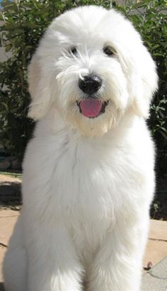 teddy bear goldendoodle puppies - Google Search