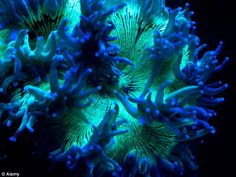 Elegance Coral is one of the most beautiful corals.  It is found from the east African coast east to Vanuatu and Micronesia.  The elegance coral can reach at least 20 inches when fully expanded.