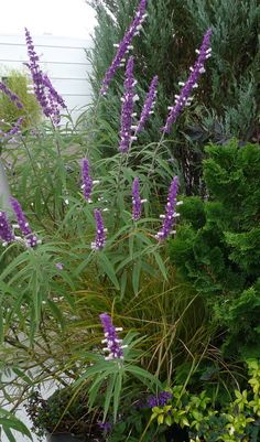 Salvia 'leucantha'