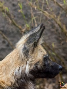Lycaon pictus or The African Wild Dog / African Painted Dog - http://www.travishale.com/african-wild-dog/?utm_source=PN&utm_medium=Pintrest_TH&utm_campaign=SNAP