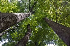 păduri de fag