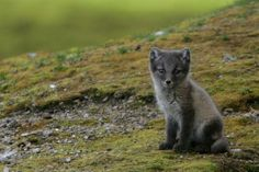 ... en huras a lo largo y ancho de la tundra , generalmente en laderas