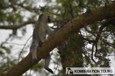 A vervet monkey sitting strangely in Ishasha, Queen Elizabeth National Park! For more information on Uganda's wildlife, please visit our website.