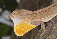 Polychrotidae - VRSTE KUŠČARJEV