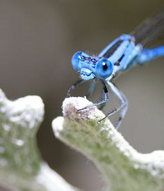 Happy Friday, from little blue damsel fly !