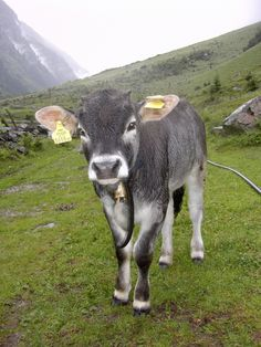 Tyrol Grey or Tyrolean Grey is a typical alpine cattle breed from Tyrol in Austria and South Tyrol in Italy. It's a dual purpose breed with a very good milk and beef performance.