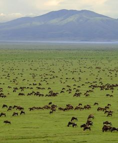 Serengeti (Pron:ˌserənˈgeti) ecosystem is a geographical region in Africa. It is located in north Tanzania and extends to south-western Kenya.  It spans some 12,000 sq miles. The Kenyan part of the Serengeti is known as Maasai (Masai) Mara. It hosts the largest terrestrial mammal migration in the world.