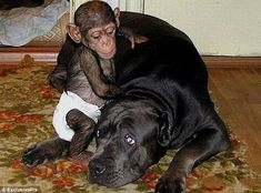 The chimp who thinks he's a puppy: Baby abandoned by his mother adopted by giant bull mastiff (who treats him as one of her pack)    Read more: http://www.dailymail.co.uk/news/article-2172570/Chimp-adopted-bull-mastiff.html#ixzz20XuGmKDX