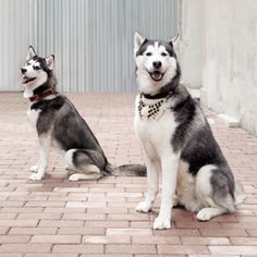 K9 collar couture | Online Shop Husky, Online Shopping, Best Friends, Couture, Dogs, Animals, Beat Friends, Haute Couture, Animales