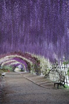 Wisteria Tunnel at Kawachi Fuji Gardens, Kitakyushu, Japan