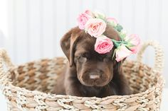 Mind Blowing Facts About Labrador Retrievers And Ideas. Amazing Facts About Labrador Retrievers And Ideas. Labrador Retrievers, Retriever Puppy, Lab Puppies, Cute Puppies, Cute Dogs, Puppy Pictures, Dog Photos, Newborn Puppies, Most Popular Dog Breeds