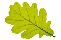Pics For > Oak Tree Leaf Shape