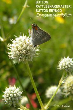 BUTTON RATTLESNAKEMASTER; BUTTON ERYNGO (Eryngium yuccifolium)   What Florida Native Plant Is Blooming Today?™ 0614