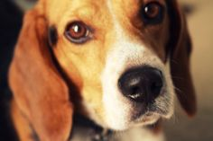 Yes folks...I'm masochistic. I will always hold a special place in my heart for my first love; Lucky. No matter how stubborn and difficult he was, I still love him and all Beagles. So we will probably get another one.