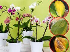 Dlaczego liście storczyka marszczą się i żółkną Organic Gardening Tips, Orchid Care, Flower Decorations, Flora, House Design, Landscape, Simple, Creative, Plants