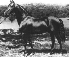 General Gates, 666, black morgan stallion, b. 1894, progeny- 118