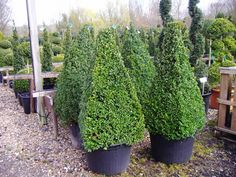 Topiary Pyramids from Crown Topiary, Hertford