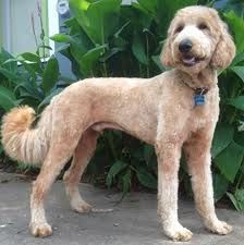 black goldendoodle summer cut - Yahoo Search Results