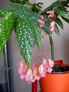 Petit Tamaya large clusters of flowers Paris garden side Indoor Garden, Garden Plants, Indoor Plants, House Plants, Unique Flowers, Beautiful Flowers, Plantas Indoor, Types Of Houseplants, Begonia Maculata