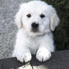 Un cachorrito muy tierno   #PetsWorldMagazine #RevistaDeMascotas #Panama #Mascotas #MascotasPty #MascotasAdorables #Perros #PerrosPty #perrospanama #Pets #PetsLovers #dogs #DogLovers #dogoftheday #PicOfTheDay #Cute #SuperTiernos