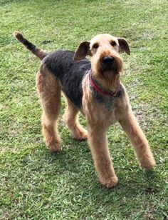 Terrier, Dogs, Animals, Animales, Animaux, Pet Dogs, Doggies, Animal, Terriers