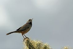 Photograph Cactus Wren (Campylorhynchus brunneicapillus) by Maddin n.a. on 500px