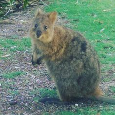 A daily dose of quokka #quokka #rottnestisland #westernaustralia #cute #islandlife #ecotourism #globaleco15 #marsupial #alan by quiettraveller http://ift.tt/1L5GqLp
