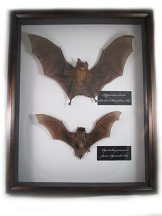 Hey, I found this really awesome Etsy listing at https://www.etsy.com/listing/115748329/taxidermied-bat-animal-oddities