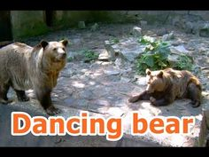 Dancing bear, lion loving and curious giraffes with zebras https://www.youtube.com/watch?v=_A3VfQOHtlE #dancing #bear #lion #loving #curious #giraffes #zebras #animal #animals #zoo
