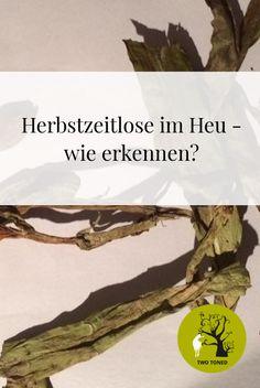 Die Herbstzeitlose (Colchicum autumnale L.) aus der Familie der Liliengewächse (Liliaceae) ist mit die giftigste und auch gefährlichste Pflanze auf unseren genutzten Grünflächen. Leider breitete sie sich durch Stilllegungsflächen und späte Mahd in den letzten Jahren enorm aus.