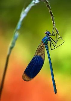 Damselfly - *Dragonfly (by Ondrej Pakan) Dragonfly Photos, Dragonfly Art, Cool Insects, Bugs And Insects, Beautiful Creatures, Animals Beautiful, Gossamer Wings, Cool Bugs, Nature Artists