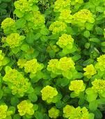Shade Loving Plants - Euphorbia amygdaloides 'robbiae' - Wood Spurge. One of the few Euphorbias tolerant of shade Euphorbia amygdaloides 'robbiae' is an excellent plant for dry shade under trees. With its bright green foliage it can really stick out amongst the other more usual darker green shade tolerant plants.