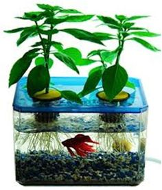 Hydroponic Science Fair Project: Beta fish vs. no fish vs. soiled plant.....I like that tank!