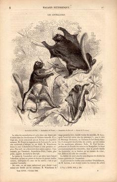 1860 Flying Squirrel Antique Print Wood Engraving por Craftissimo