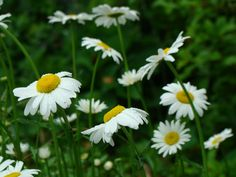 Daisys considered old fashioned but are very dramatic against a dark green background and they light up the garden !  l