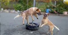 Two Adorable Dogs Play the Cutest Game of Tetherball Ever - Aww! - Cute Video