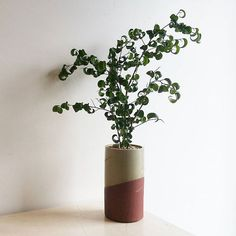 curly ficus in locally made O&K ceramic Mount Pleasant, Ficus, Plant Design, Houseplants, Indoor Plants, Vancouver, Planter Pots, Objects, Curly