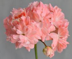 Geraniums Garden, Ornamental Cabbage, Prairie Garden, Malva, Orange Flowers, Flower Beds, Pretty Flowers, Houseplants, Hibiscus