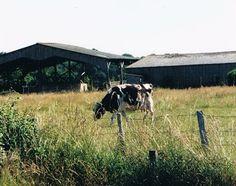 Vache hublot (fistulée) vue près de Rennes à l'INRA Méjusseaume vers 2002